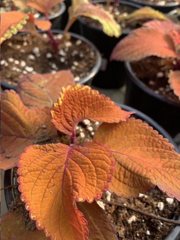 orange coleus orange