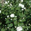 philadelphus snowbelle