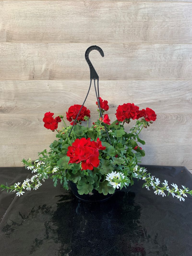 géranium rouge et scaevola blanc