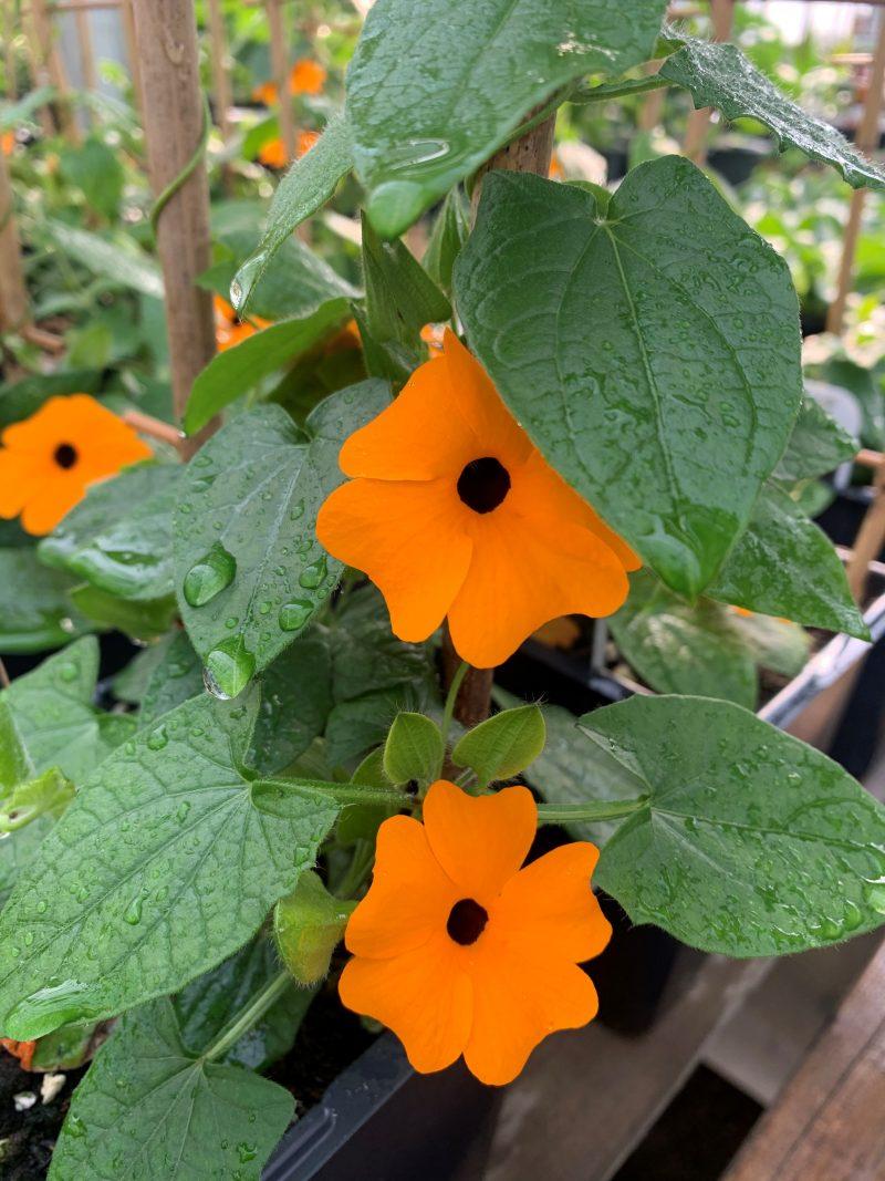 thunbergia sunny susy orange